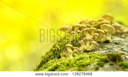 Young mushrooms on a stump in a sunny spring forest