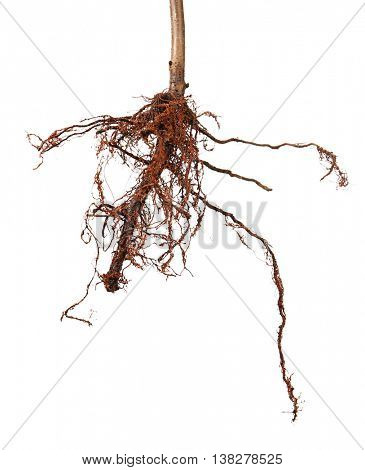 Plant with roots, isolated on white