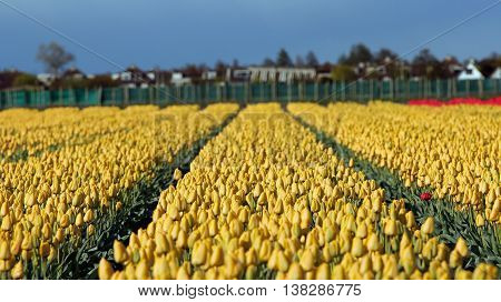 Flower Bed Of Yellow Tulips. Beautiful outdoor scenery in Netherlands.