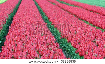 Tulip Flower Fields. Rows of red tulips in Dutch countryside.
