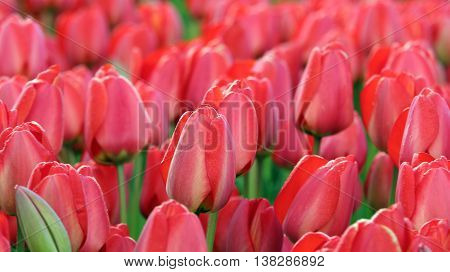 Red Tulip Field. Close up of red tulips in a field. Beautiful outdoor scenery in Netherlands.