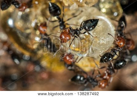 Red Head Ant Honeypot Myrmecocystus Close Up