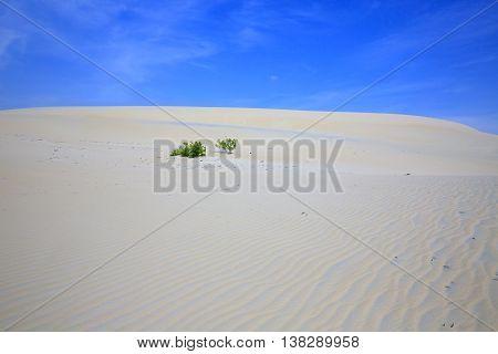Alone tree in White Sand Dunes in Phan Thiet, Vietnam