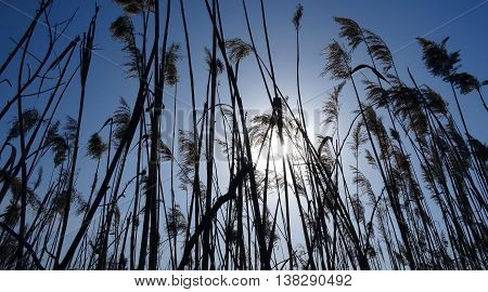 Reed plants against morning sunrise stock photo