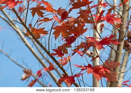 Red Autumn leaves of Sugar maple, Rock maple tree against blue sky in South Australia