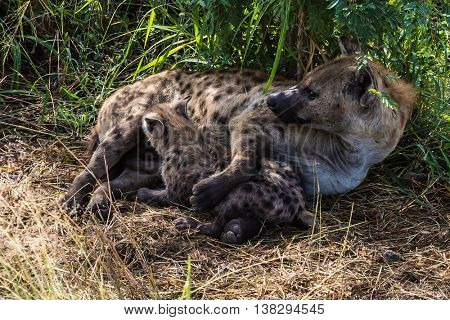 Kruger National Park, South Africa. Spotted hyena feeding her milk your puppy