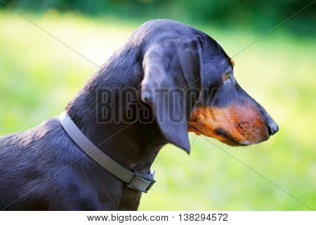 Black Smooth-haired Dachshund Portrait