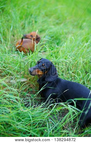 Black And Red Dachshunds Hunting Among The Green Grass