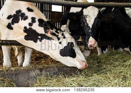 Holstein cattle in the barn indoor dairy farm