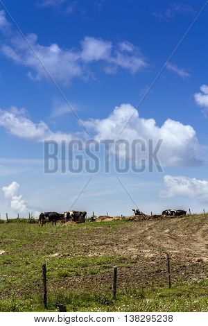 Holstein cow in the pasture against blue sky