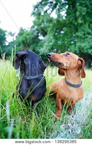 Black And Red Smooth-haired Dachshunds Sitting In The Grass