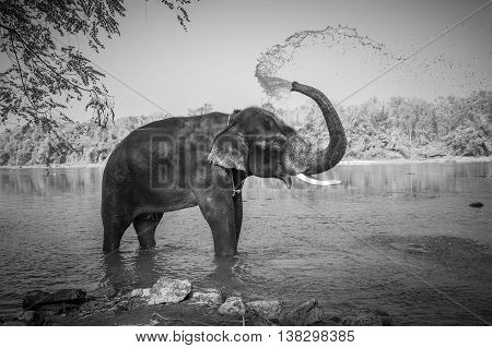 Black and white image of elephant bathing Kerala India