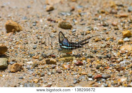 Butterfly, Green Dragontail,(lamproptera Meges)