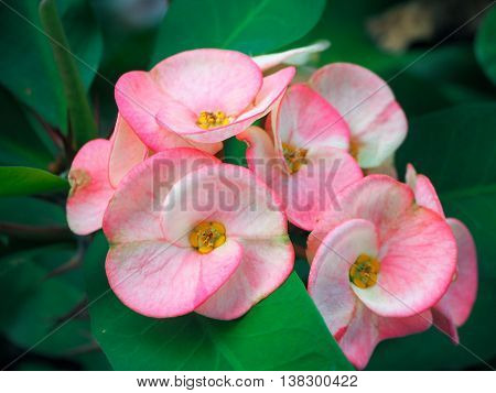 Pink Crown of Thorn flower, Christ Thorn or euphorbia milii flowers is bloom in the garden.