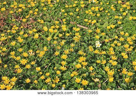Carpet of lesser celandine flowers in spring