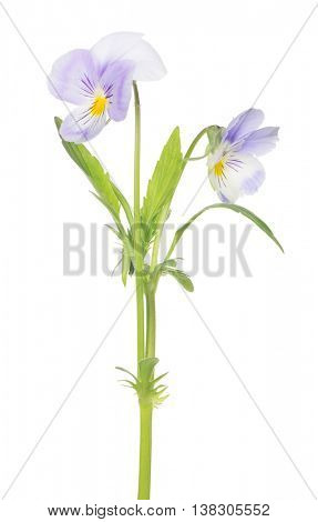 two pansy flowers isolated on white background