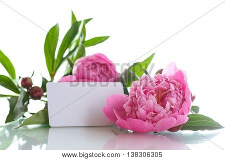 beautiful pink peonies on a white background