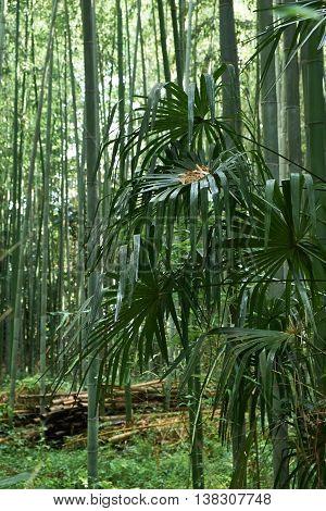 Palms in the Bamboo Forest of Arashiyama, kyoto, Japan