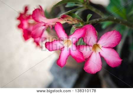 Azalea Pink flowers, sunlight, blur, select focus.