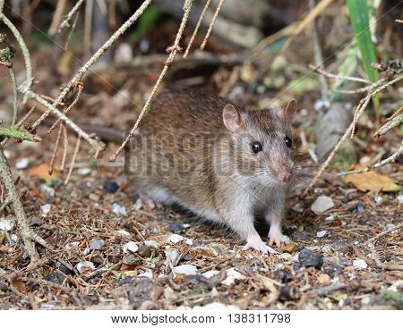 Close up of a wild Brown Rat