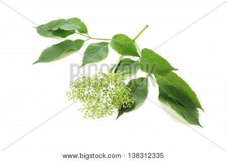 Sambucus nigra elderberry with buds and leaves on white background.