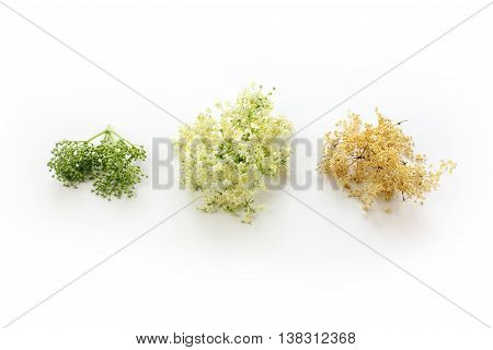 Sambucus nigra elderberry herb with flowers and buds and dried flowers on white background.