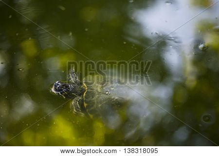 Swimming turtle in water in the pond.