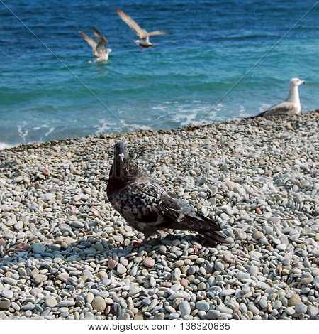 Dove and sea gulls on the shore of Black Sea in sunny day