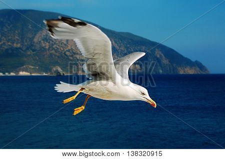 Flying in the sky sea gull in sunny day, Black Sea, Crimia, Ukraine