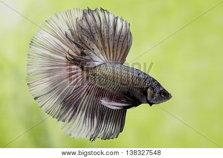 The Siamese fighting fish (Betta splendens), also sometimes colloquially known as the Betta, is a species in the Gourami family which is popular as an aquarium fish.