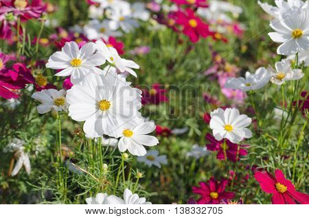 White cosmos flowers in the garden field
