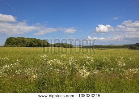 Canola Crop With Thistle Flowers