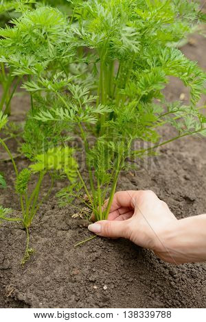 Woman Holds A Carrot Tops