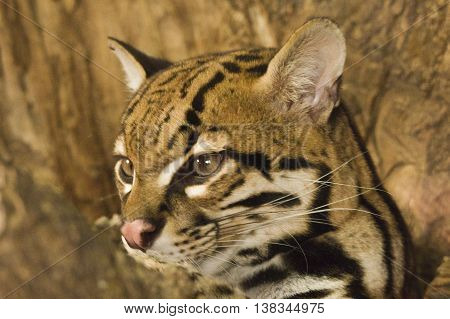 Ocelot Leopardus pardalis young specimen resting on a log