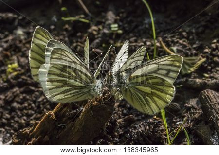 A group of green-veined whites against the light