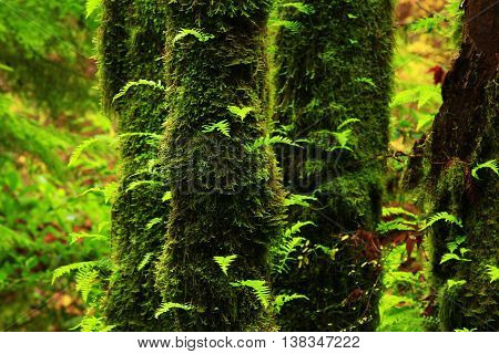 a picture of an exterior Pacific Northwest forest with Vine maple trees and ferns