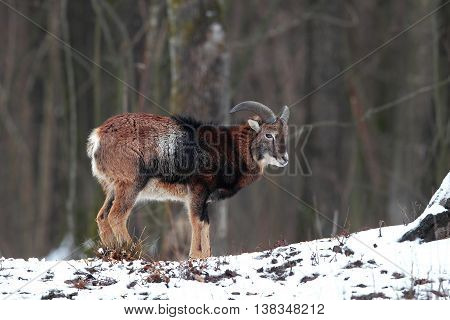 Portrait of a young mouflon with small horns