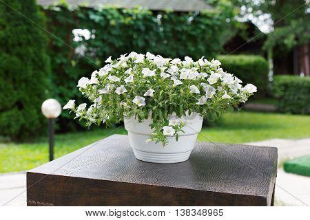 Big vase of petunias outdoors. Flowerbed with white flowers, modern garden design.