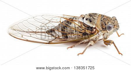 Cicada isolated on white background. Studio shot side view.