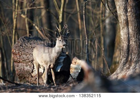 Portrait of roe deer with small horns in the wild