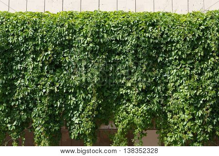 Vine-covered fence background. Green surface with grape leaves, natural creeping ivy plant cover.