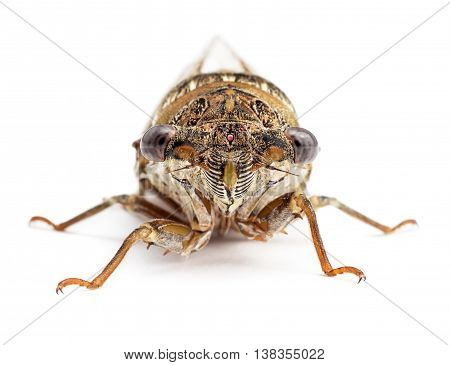 Cicada isolated on white background. Studio shot front view.