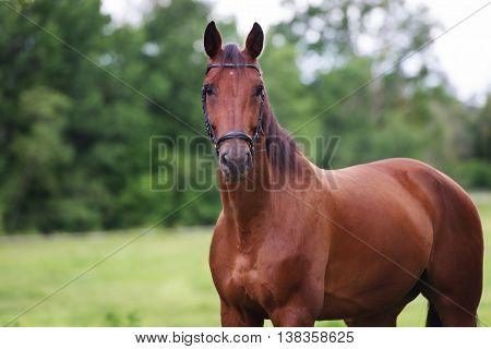 one beautiful horse portrait outdoors in summer