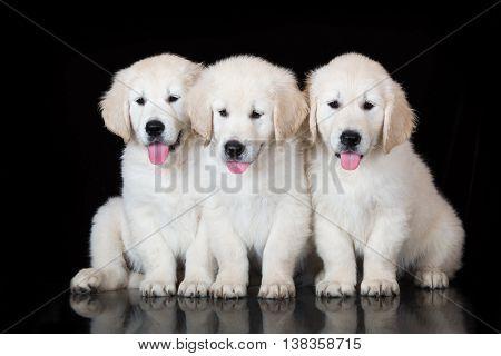 three golden retriever puppies on black background