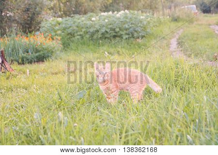 Young red cat green meadow with back light
