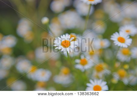 wild group of small live flowers camomiles
