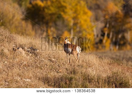 a pronghorn antelope doe on ridge in autumn