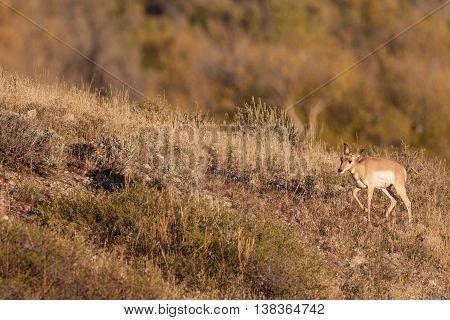 a pronghorn antelope fawn walking along a hillside