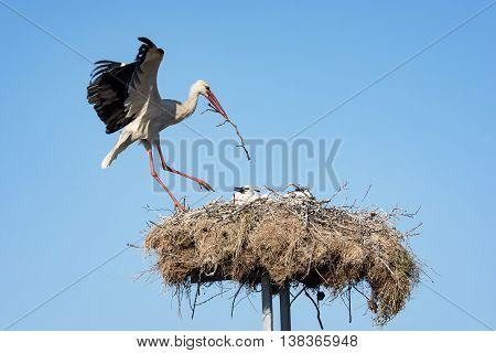 Stork in a nest with two young storks