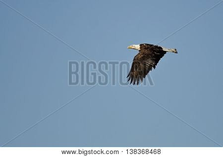 Bald Eagle Soaring High in a Clear Blue Sky